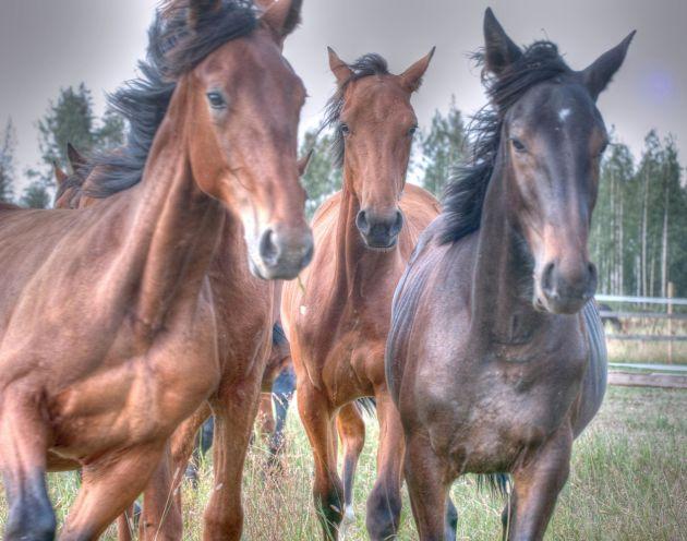 HorsesFinland