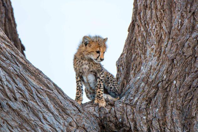 CheetahBabySmall