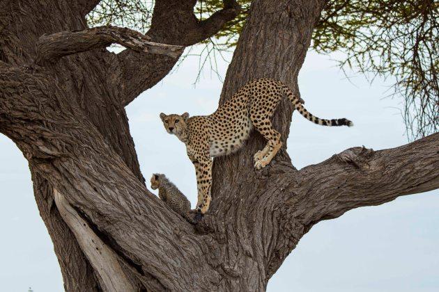 CheetahsSmall