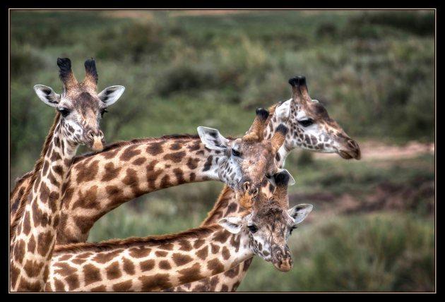 giraffessmall