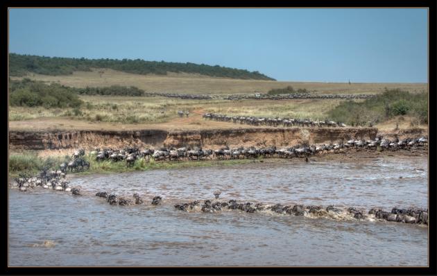Wildebeests1