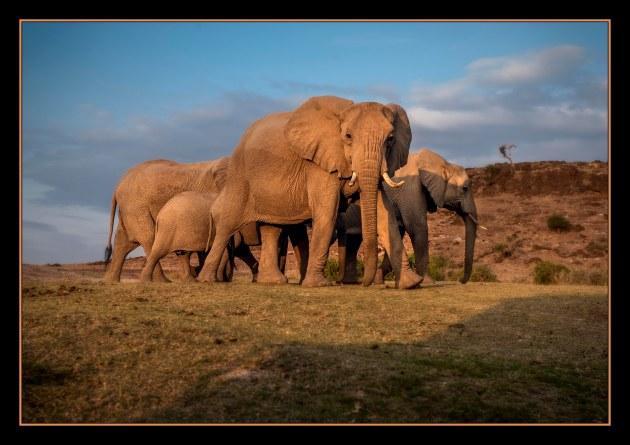 AmboseliElephantsSmall