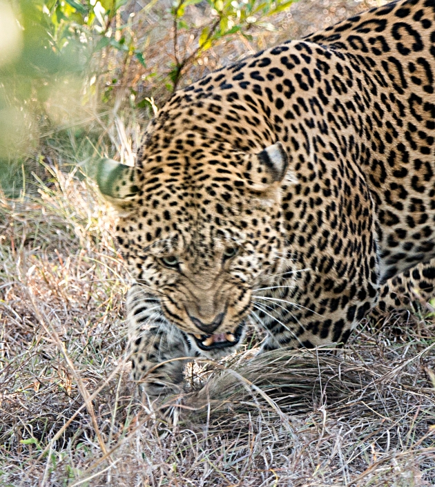 leopards3