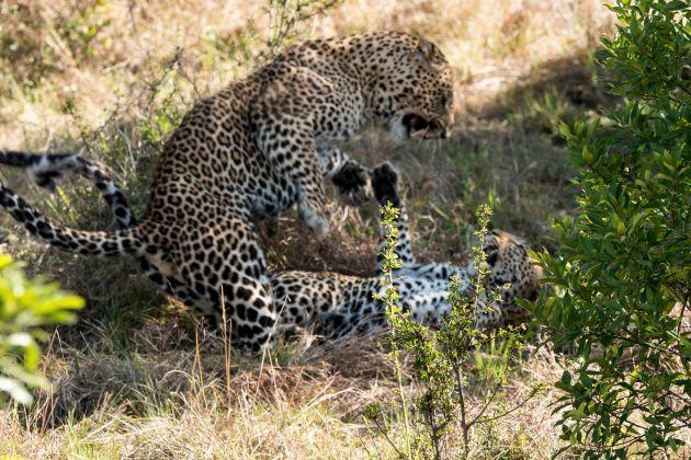 leopardsa3800063