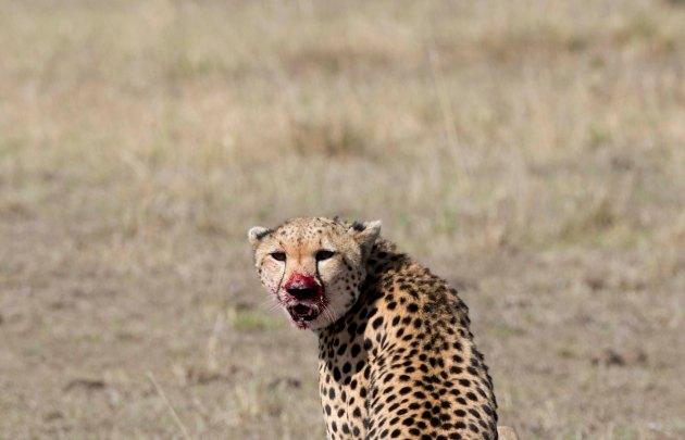 cheetah9