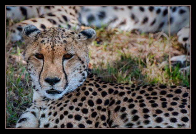 cheetahsmall
