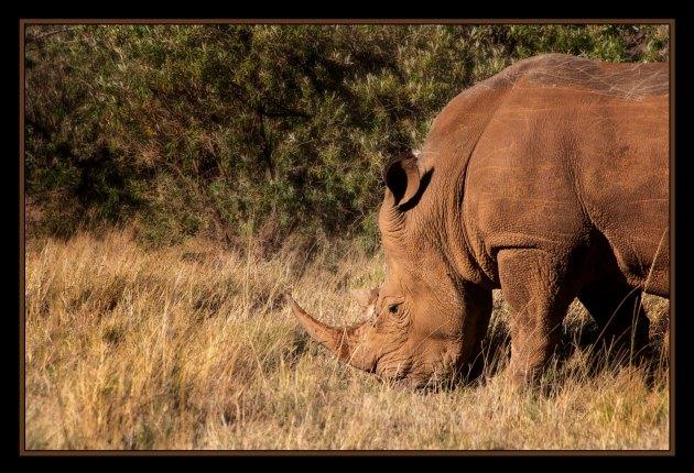rhinosmall